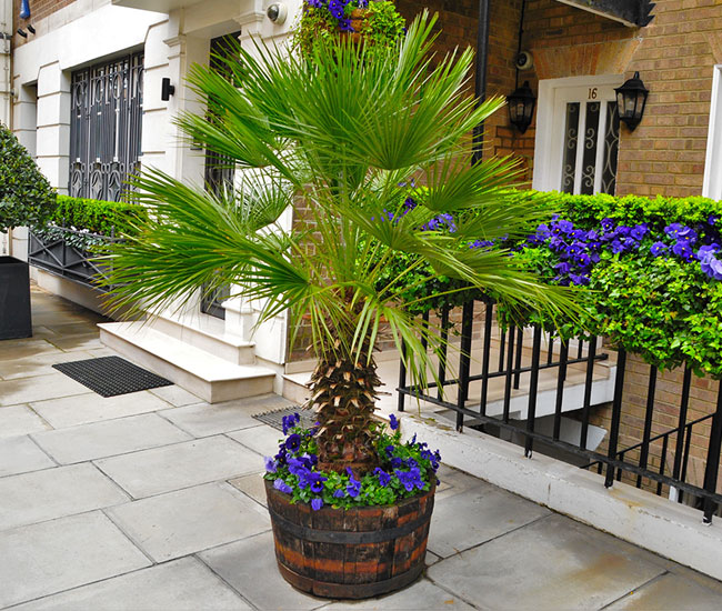 Picture of potted Chinese Fan Palm by the front door.