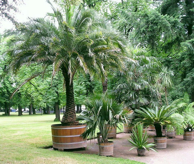 Picture of Pygmy Date Palm (Phoenix roebelenii) in a large container