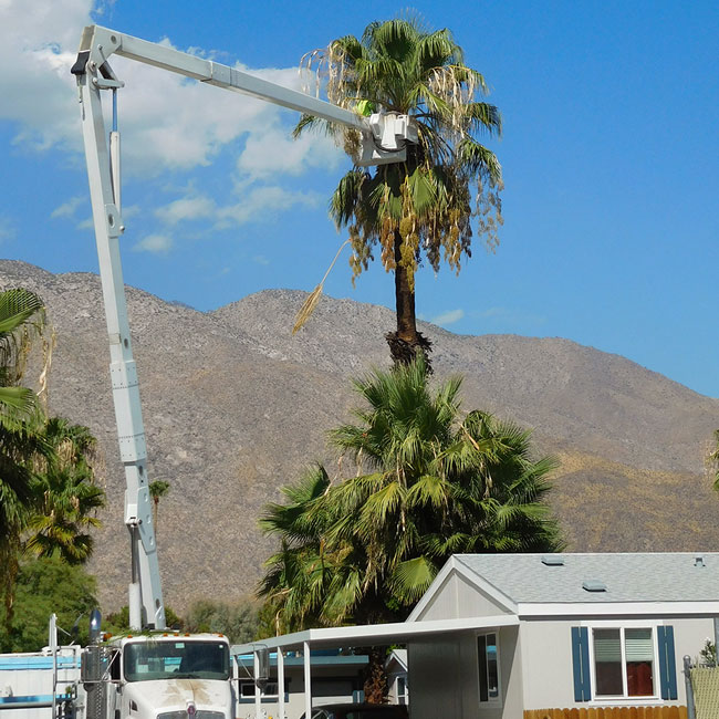 Tall palm tree pruning using hydraulic lift with a basket.