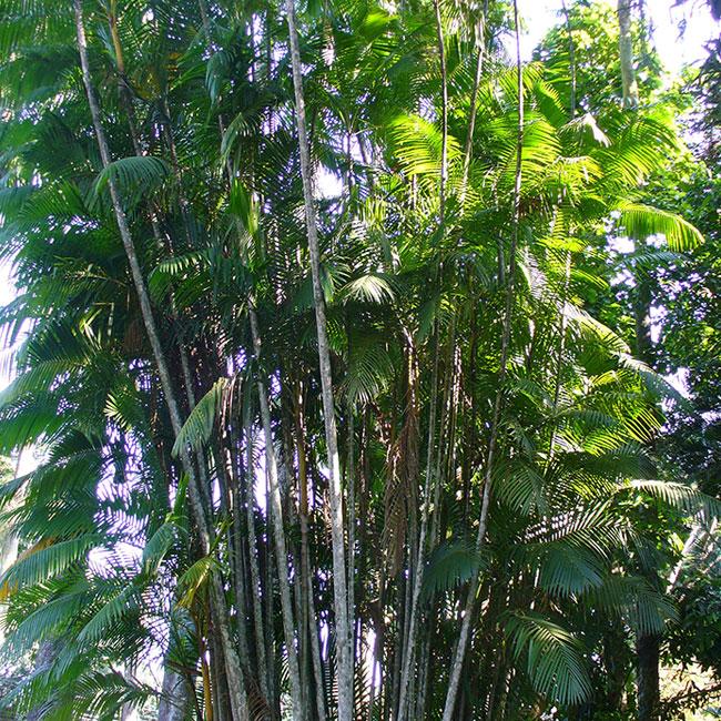 Acai Palm (Euterpe oleracea)