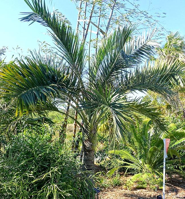 Buccaneer Palm (Pseudophoenix sargentii)