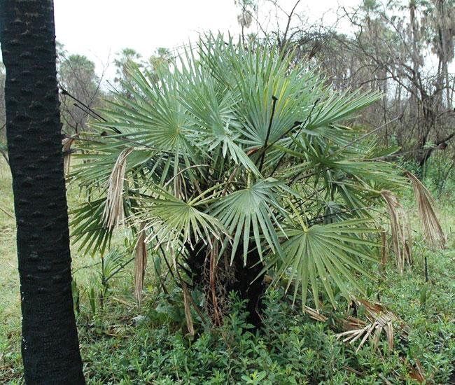 Caranday Palm (Copernicia alba).