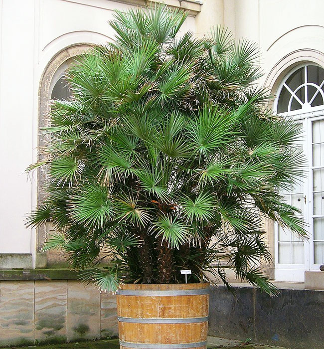 Large European Fan Palm (Chamaerops humilis) in a container.