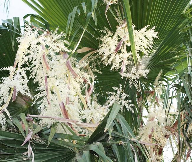 Mexican Fan Palm Tree (Washingtonia robusta).