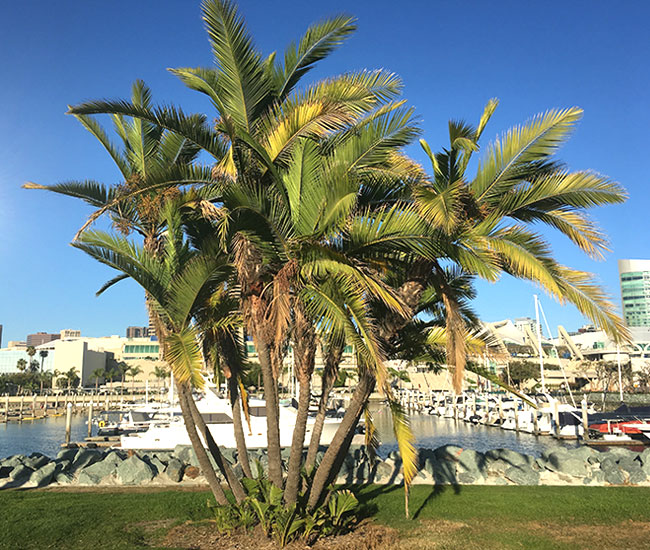 San Diego palm tree by the water