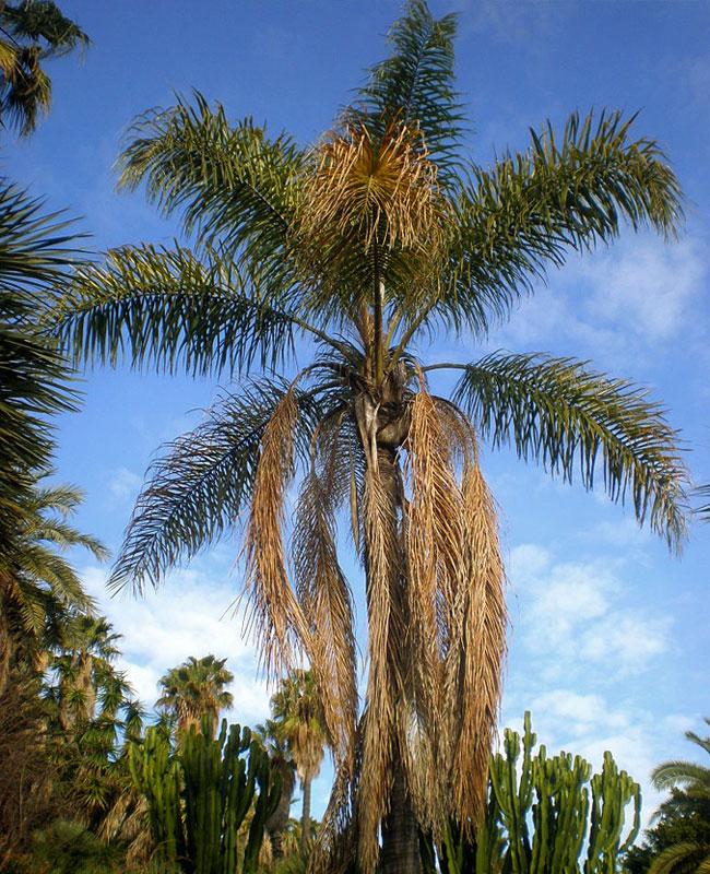 Queen Palm Tree (Syagrus romanzoffiana).