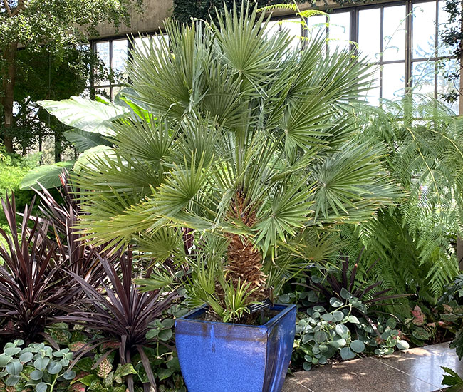 European Fan Palm (Chamaerops humilis) in a container.
