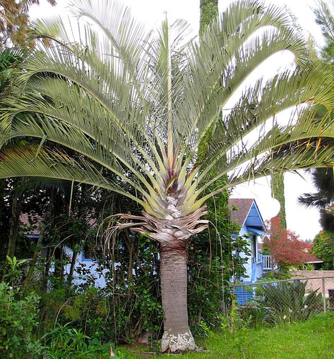Triangle Palm Tree (Dypsis decaryi)