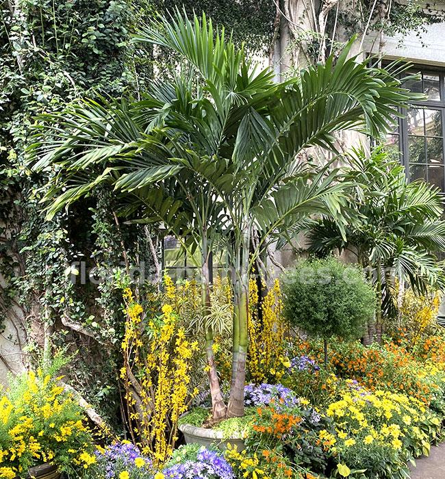 Christmas Palm (Veitchia merrillii).