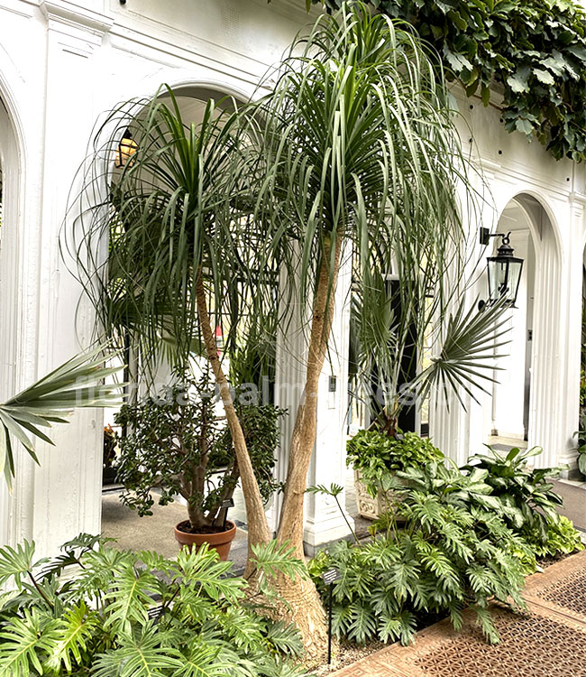 Ponytail Palm Tree (Beaucarnea recurvata).