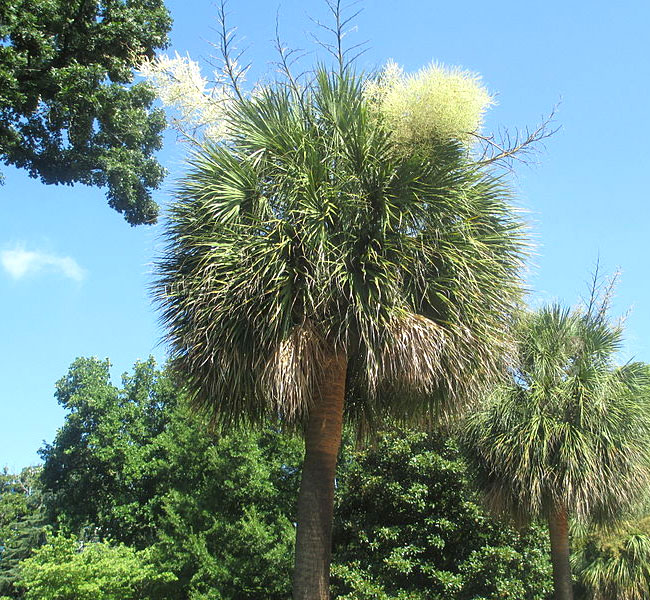 Cabbage Palm (Sabal palmetto) growing near the South Carolina state capitol in Columbia.